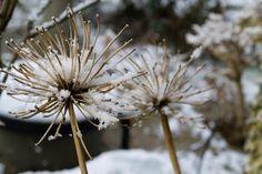 snow on seedheads