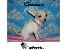 Toy Chihuahua Puppies for Sale | Tiny Teacup & Toy Chihuahua Puppies For Sale in TEXAS - $399 - Mcallen ...
