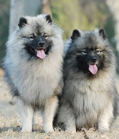Keeshond breed - Bright, Quick, Agile, Sturdy, Obedient, Playful