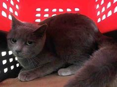 Pulled by Anjellicle Cats Rescue* NYC **Beautiful Grey Girl** TO BE DESTROYED 02/18/15 GREY seems to not be thriving in this environment and at the time of the assessment Grey was displaying behaviors that preclude placement in the adoptions room and is NH ONLY. ID #A1027937. Female gray about 2 YEARS STRAY. I came in with Group/Litter #K15-004041. https://www.facebook.com/nycurgentcats/photos/a.956525684365419.1073742597.220724831278845/956525821032072/?type=3&theater