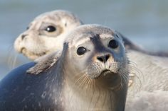 It's National Wildlife Day! 10 Animals We're In Danger Of Losing Forever Crazy Cat Lady, Crazy Cats, Dog Pictures, Cute Pictures, Animals Are Beautiful People, Baby Animals, Cute Animals, Wildlife Day, Harbor Seal