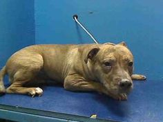 STILL ALIVE! NEEDS HELP NOW! TYSON is an adoptable Pit Bull Terrier Dog in Brooklyn, NY.  ...