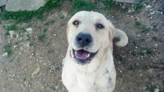 #ARKANSAS #URGENT ~ Alex is an #adoptable Labrador Retriever Dog in #Gurdon. He has a few years under his belt  & a few strikes against him health-wise- tho all are fixable & there's enough $ in pledges to help him. Alex just needs someone to want him & love him. To #adopt or #rescue Alex contact Ty at The City of Gurdon Animal Shelter PH 870-406-0273