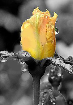 Rosa amarilla mojada. Rosebud