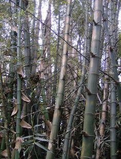 Bambusa Blumeana - Hong Kong Zoological and Botanical Gardens