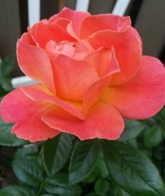 Sunrise Rose-My Own Secret Garden♡