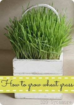 Wheat grass for Easter. Plant the grass 2 weeks before Easter for perfect timing, and keep soaking the wheat kernels until they begin to sprout. http://www.320sycamoreblog.com/
