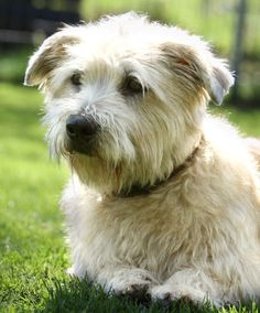 Fire & Ice Irish Glen of Imaal Terrier