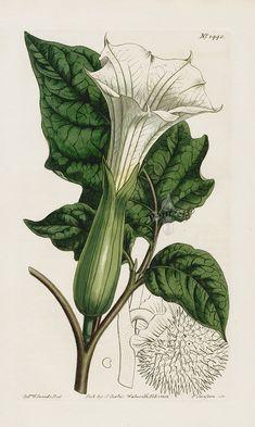 William Curtis Botanical Magazine Antique Prints 1787-1839 Datura
