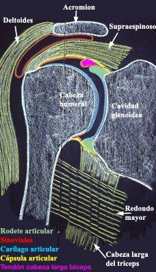 Articulaciones del hombro