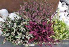 Brecina Calluna vulgaris