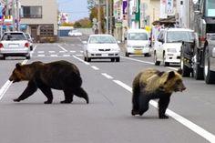 Ursos no Japão podem estar se transformando em comedores de humanos