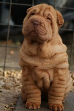 shar pei puppies Of Rozi  Simba - Qi Ming Xing shar pei kennel - Picasa Web Albums
