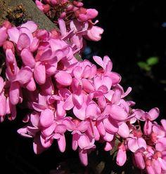 Arbre de Judée - Cercis siliquastrum Judas Tree, Yucca, Palmiers, Branches, Provence, Beauty, Gardens, Rock Shower, Flowering Shrubs