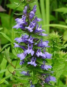Lobelia siphilitica Blue Cardinal Flower Blue Cardinal Lobilia I planted this thinking it was the creeping variety, to my surprise its an upright and it gorgeous...... looking for more!!!