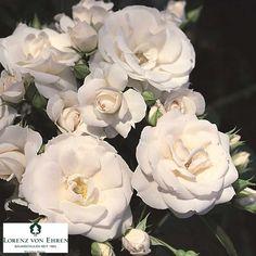 """Aspirin"", ground-cover rose"