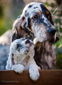 Big Dogs, I Love Dogs, Cute Dogs, Dogs And Puppies, Doggies, Beautiful Dogs, Animals Beautiful, Cute Animals, English Setter Puppies