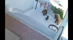 Brave Small Bulldog Chasing Hungry Bears From Home in Monrovia