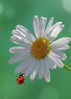 Marguerite With Ladybug by Ralph Klein