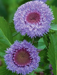 CENTRANTHEMUM intermedium 'Pineapple Sangria' One inch fluffy lavender-blue button-like flowers with oval, serrated, mid-green leaves and delightful pineapple fragrance