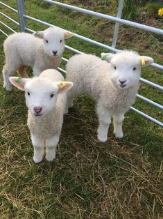 Dirty Lamb Gets Washed And Becomes Ultra-Fluffy - World's largest collection of cat memes and other animals Baby Farm Animals, Baby Cows, Cute Little Animals, Cute Funny Animals, Animals And Pets, Wild Animals, Fluffy Cows, Fluffy Animals, Bb Chat