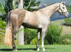 Gray Quarter horse from Brazil, not AQHA.. Gray will eventually cover any born color.