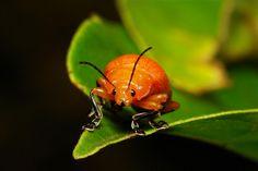Golden Leaf Beetle (Podontia lutea, Chrysomelidae)