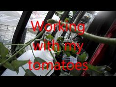 Working with my tomatoes
