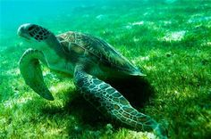 A green turtle feeds on sea grass in   the Maldives  - one of the countries most seriously threatened by the effects of climate change like sea level rise and erosion.