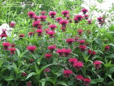 Full size picture of Bee Balm, Beebalm, Bergamot, Firecracker Plant, Horsemint, Mountain Mint, Oswego Tea 'Raspberry Wine' (Monarda didyma)