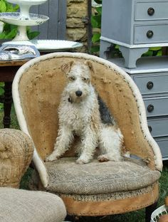 """Love the wire haired terrier named """"Ghetto"""" -- the naked chair - a good idea? - Sharon Santoni"""