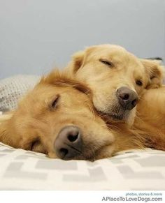 *snuggles* - reminds me so much of our Golden Charlie and other Goldens we have had before him.