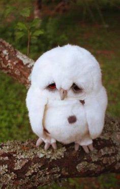 fluffy owls | Fluffy owl via: femme-fatale21