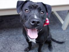 TO BE DESTROYED - 8/19/14 Manhattan Center -P  My name is CANOLI. My Animal ID # is A1010121. I am a female black and white am pit bull ter and staffordshire mix. The shelter thinks I am about 1 YEAR  I came in the shelter as a STRAY on 08/11/2014 from NY 10022, owner surrender reason stated was STRAY.