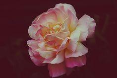 ¡A pintar rosas!
