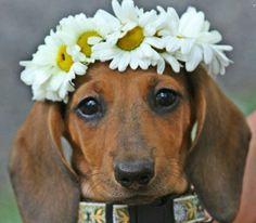 Meet Lilly Bug :) - photo via I love Dachshunds fb page
