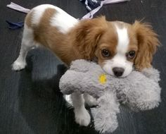 Blenheim Cavalier King Charles Spaniel puppies for sale