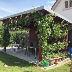 By kleintiereonline.de. . Gartenbetrachtung aus verschiedenen Perspektiven: Pergola. Ein schöner Garten ist auch mit körperlicher Arbeit verbinden. Umso mehr ist es auch gerechtfertigt, sich eine Pause zu gönnen. Unsere Pergola ist vor allem im Sommer, wenn die Rebe mit ihrem enormen Wachstum für die nötige Atmosphäre sorgt, ein Lieblingsaufenthaltsort. Es ist unsere Stube im Sommer, das Esszimmer für interessante Gespräche und ein Erholungsraum nach getaner Arbeit. . #garten #aufenthaltsort… Pause, Pergola, Outdoor Decor, Plants, Home Decor, Recovery, Dining Rooms, Summer, Lawn And Garden