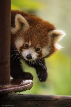 Red Panda at Colchester Zoo UK.(by ScottD Photography)