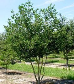 Yaupon Holly | Sierra Vista Growers -- A super drought-tolerant and evergreen shrub.