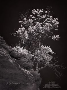 Ridgetop Trees, West Fork, Oak Creek Canyon (Infrared)  ©2015 James D. Peterson