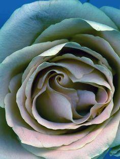 Roses 2, Inkjet printing on copper handmade paper - Hermann Försterling