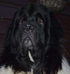 My Newfoundland dog Bear