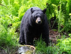 Beautiful black bear in The Smoky Mountains