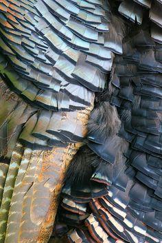 Turkey Plumage by cheryl.rose83 - Cheryl Rose on Flickr