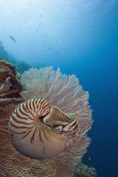 Dave Fleetham Canvas Art Print titled Micronesia, Palau, Chambered Nautilus (Nautilus pompilius) Floating Among Coral, None - Animals Wild Life Underwater Creatures, Underwater Life, Ocean Creatures, Beneath The Sea, Under The Sea, Sea And Ocean, Ocean Ocean, Beautiful Ocean, Tier Fotos