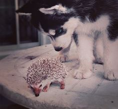 Puppies and hedgehogs