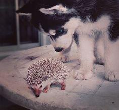 Husky and Hedgehog.