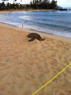 Turtle resting on the beach! Submitted by Renata Vicente. #pinHawaii