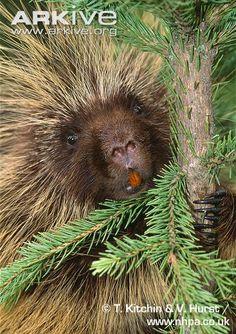 North American porcupine showing teeth